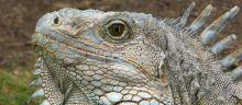 IguanaGuayaquil